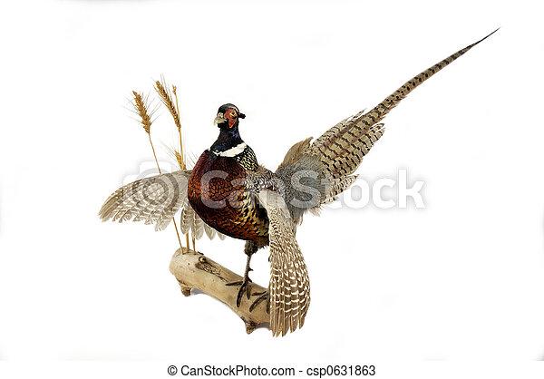 Ring-necked Pheasant - csp0631863
