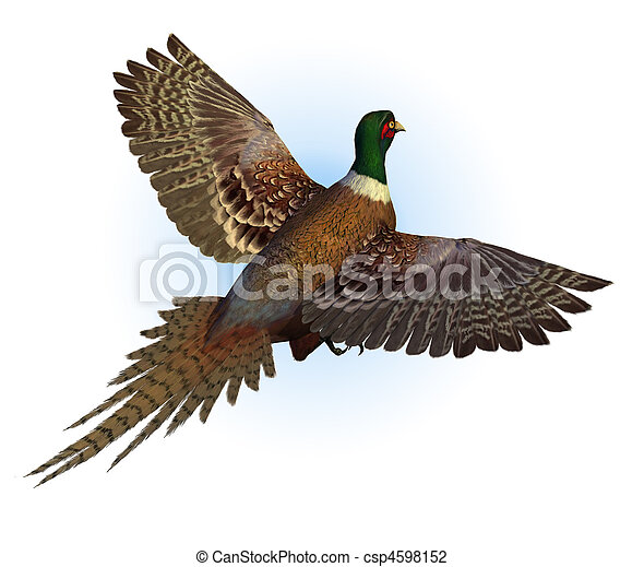 ring-necked, repülés, fácán - csp4598152