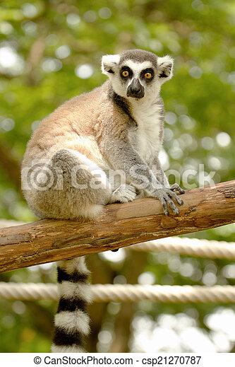ring-tailed lemur (lemur catta) - csp21270787