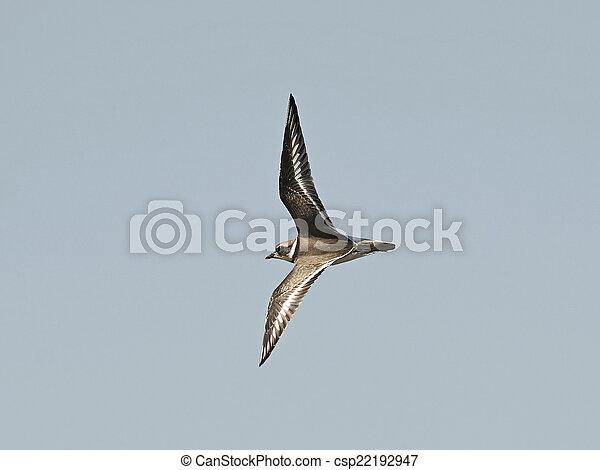 Ringed Plover (Charadrius hiaticula) - csp22192947