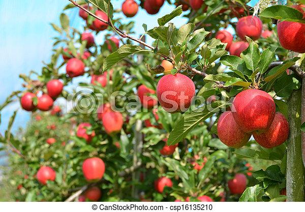 Ripe apples on the tree - csp16135210