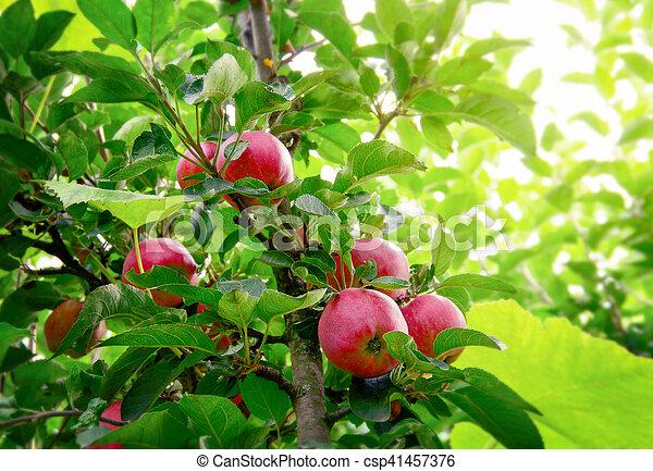 Ripe apples on the tree - csp41457376
