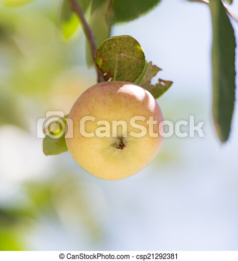 ripe apples on the tree - csp21292381