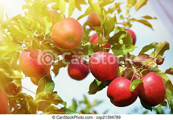 Ripe apples on the tree - csp21394789