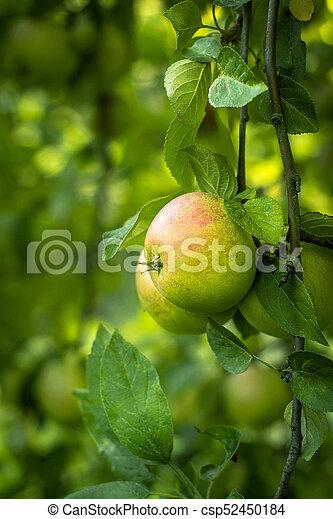 Ripe apples on the tree - csp52450184