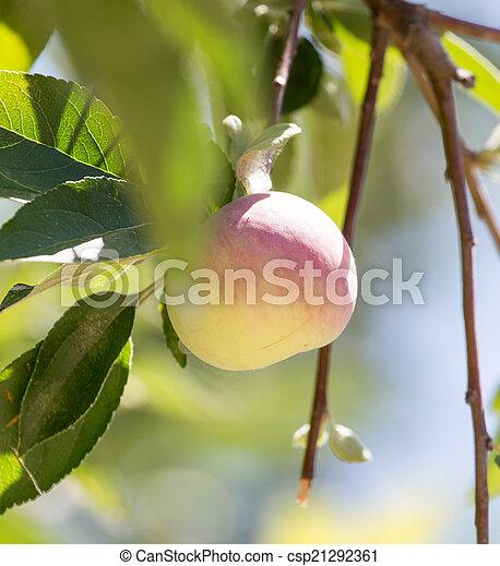 ripe apples on the tree - csp21292361