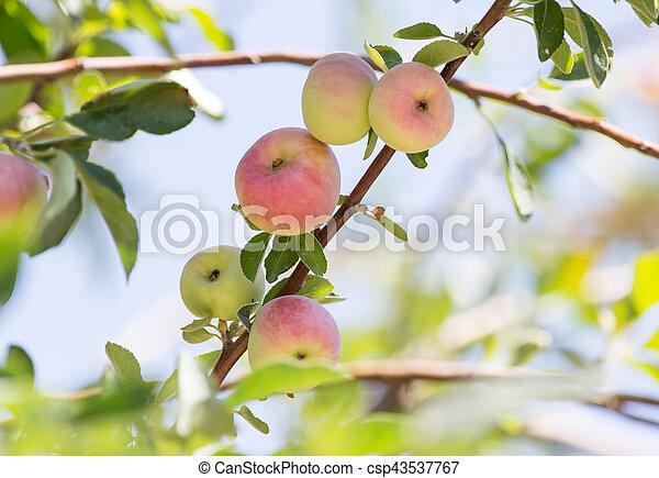 ripe apples on the tree - csp43537767