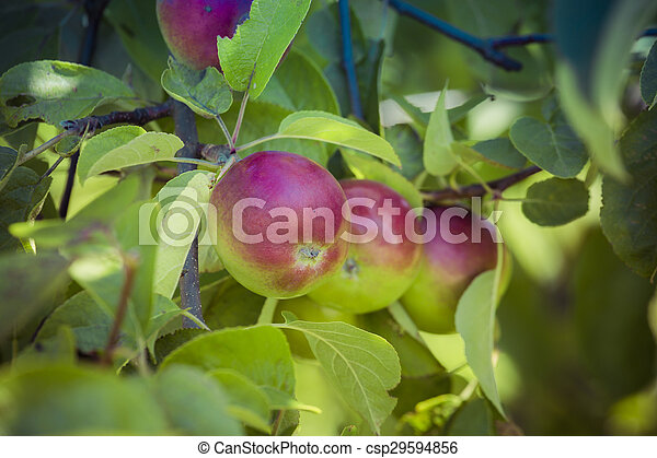 Ripe apples on the tree - csp29594856