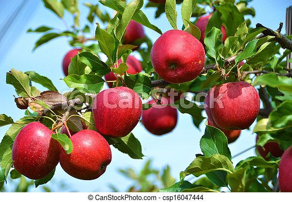 Ripe apples on the tree - csp16047444