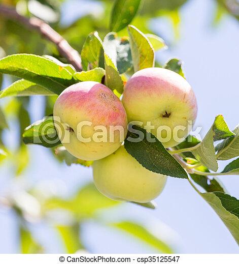 ripe apples on the tree - csp35125547