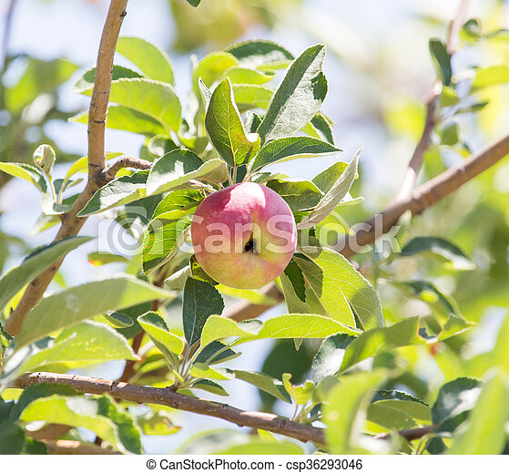 ripe apples on the tree - csp36293046