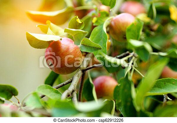 Ripe apples on the tree - csp62912226