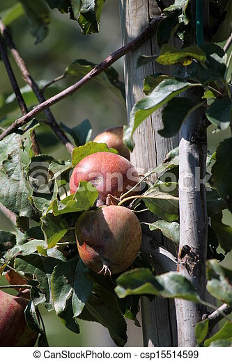 ripe apples on the tree - csp15514599