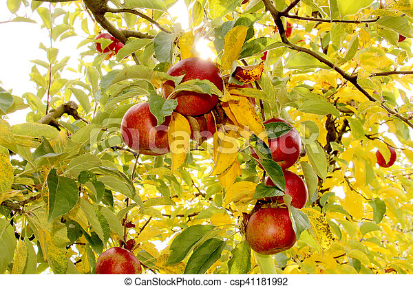 Ripe apples on the tree - csp41181992