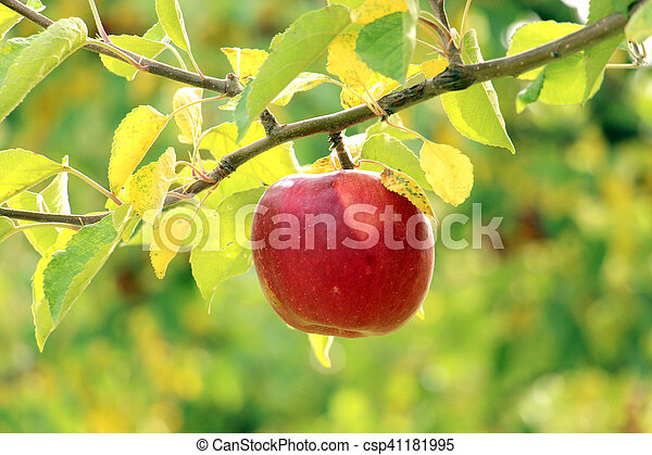 Ripe apples on the tree - csp41181995