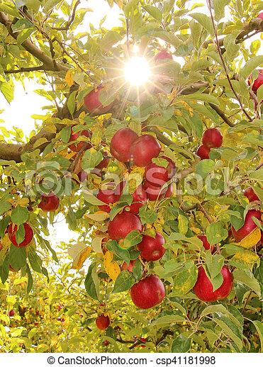 Ripe apples on the tree - csp41181998