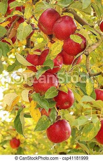 Ripe apples on the tree - csp41181999