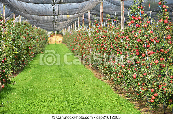 Ripe apples on the tree - csp21612205
