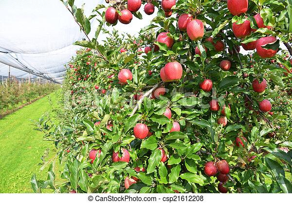 Ripe apples on the tree - csp21612208