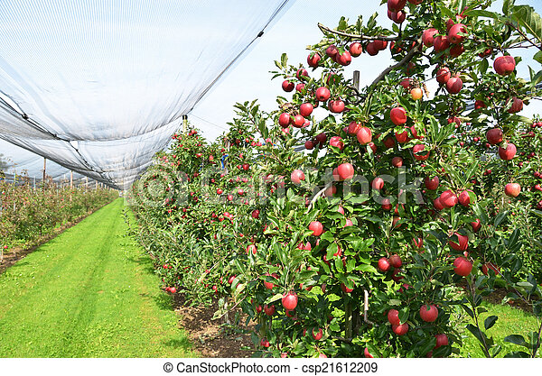 Ripe apples on the tree - csp21612209
