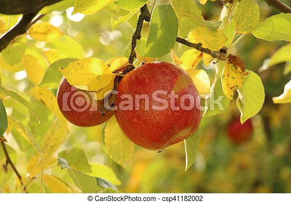 Ripe apples on the tree - csp41182002