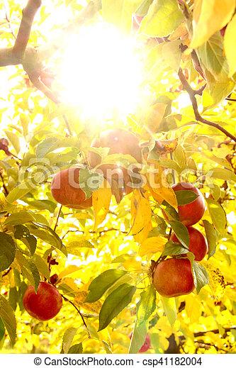 Ripe apples on the tree - csp41182004