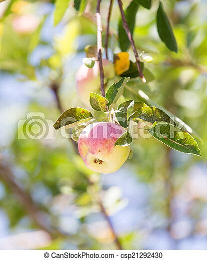 ripe apples on the tree - csp21292430