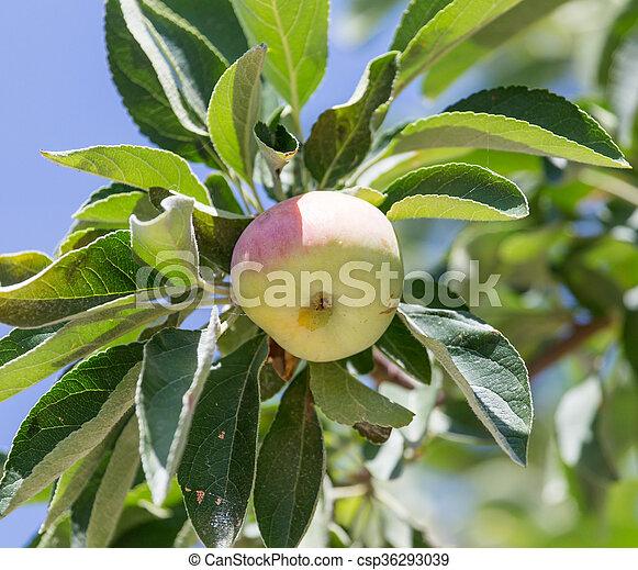 ripe apples on the tree - csp36293039