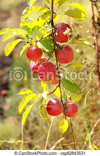 Ripe apples on the tree - csp62843531