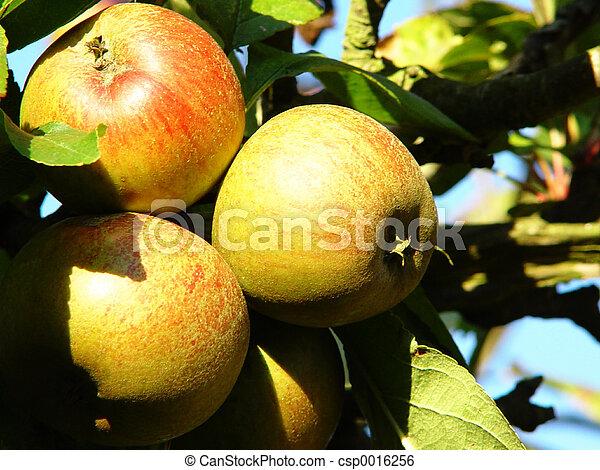 ripe apples - csp0016256