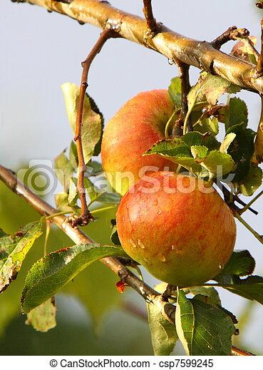 ripe apples - csp7599245