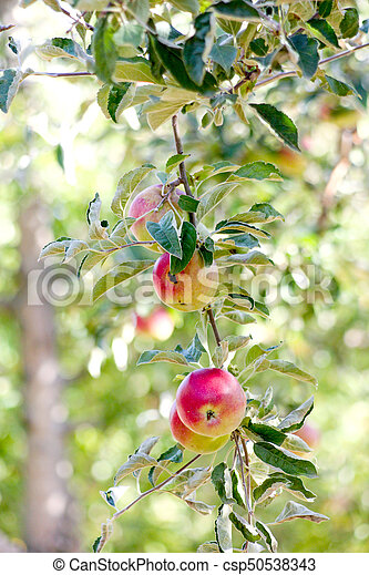 ripe apples - csp50538343