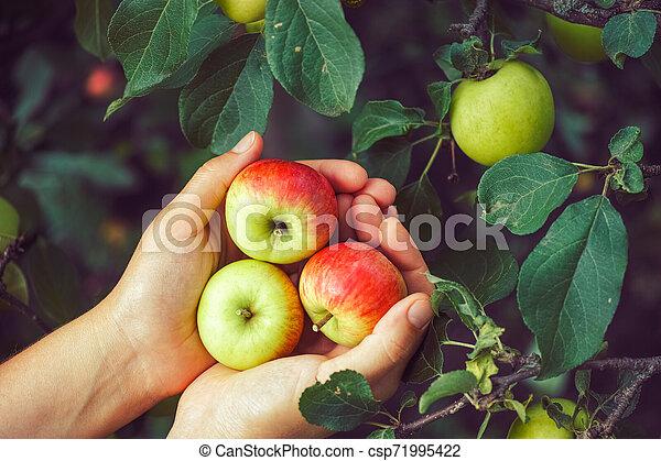 Ripe apples - csp71995422
