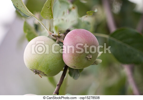 ripe apples - csp15278508