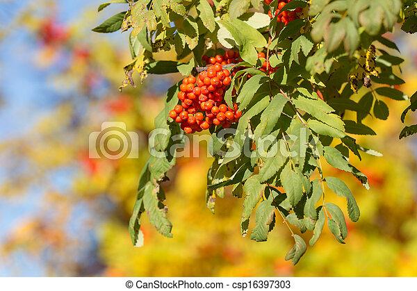 ripe autumn mountain ash - csp16397303