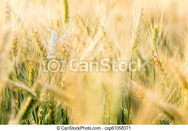 Ripe barley on the field on late summer afternoon - csp61058371