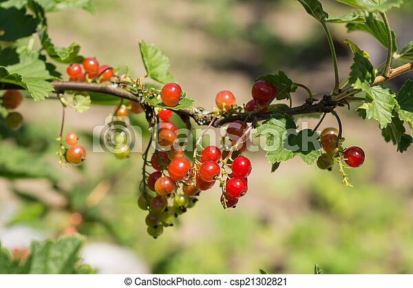 Ripe berries of red currant on a branch in a sunny day - csp21302821