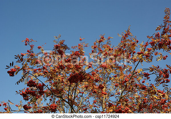 Ripe bunches of red mountain ash against the blue sky - csp11724924