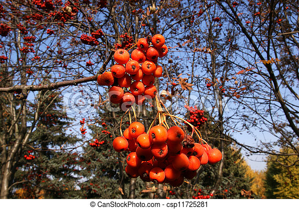 Ripe bunches of red mountain ash in the light of bright sunshine - csp11725281
