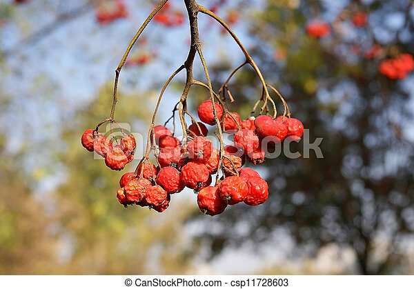 Ripe bunches of red mountain ash in the light of bright sunshine - csp11728603