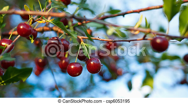 ripe cherry - csp6053195