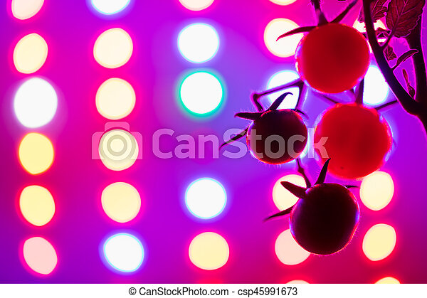 Ripe Cherry Tomatoes Silhouette Against Led Grow Lamp Background