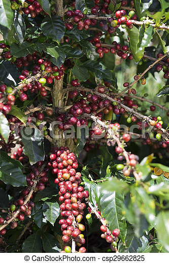 ripe-coffee-bean-fruit-stock-photo_csp29