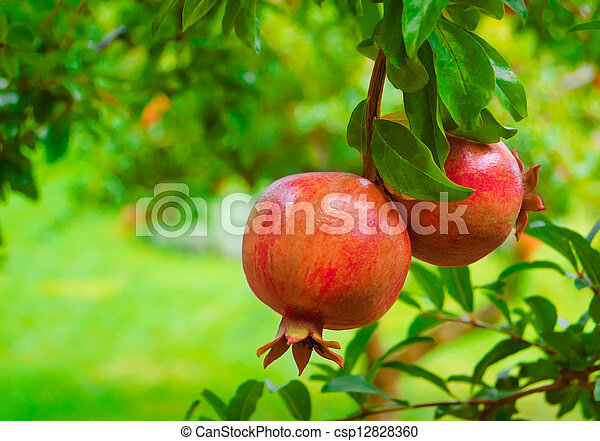 Ripe Colorful Pomegranate Fruit on Tree Branch - csp12828360