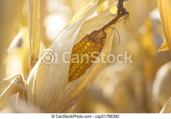 ripe corn - csp31786382