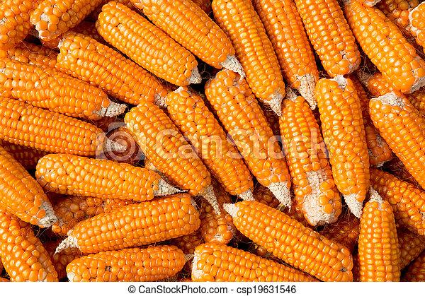 Ripe corn - csp19631546