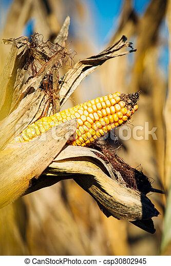 Ripe corn - csp30802945