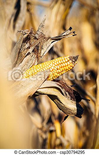 Ripe corn - csp30794295