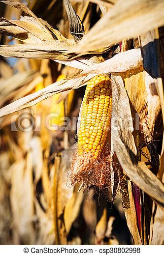 Ripe corn - csp30802998