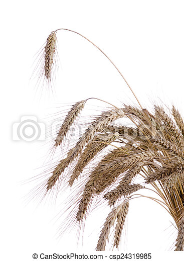 Ripe ears of wheat on a white background - csp24319985